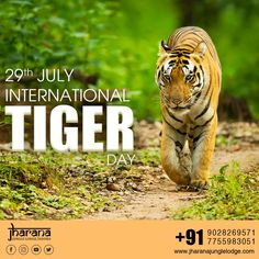 On this International Tiger Day, Let's take a pledge to conserve wildlife and protect our national animal. Save the Nation's Pride to preserve our forests.  #internationaltigerday #InternationalTigerDay2020 #JharanaJunglelodge #SaveTiger #Tiger #Jungle #safari National Animal, National Parks, Jungle Resort, Park Resorts, Jungle Safari, Forests, Preserve, Conservation, Pride