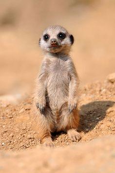 Baby meerkat, just one month old.  Basel Zoo | ©Tambako the Jaguar, via flickr