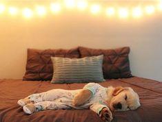 "48.7k Likes, 1,450 Comments - Golden Retrievers (@goldenretrievers) on Instagram: ""10 Puppies Napping in Pajamas ❤️ Follow them @mrs.sarahknapp @izabellahb @sunshine.state.mango…"" #goldenretriever #goldenretrieverpuppy"