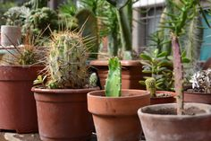#Cactus #Suculenta #Green #Nature #Garden #Rustic