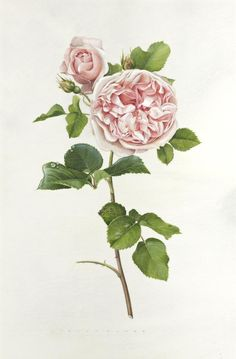 Rose botanical drawing, by Evelyn Binns