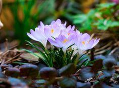 Crocuses. my favorite early spring flower