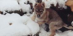 tschechoslowakischer Wolfshund Welpe
