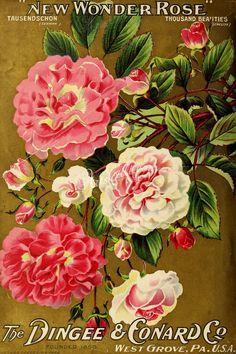 046-Rose   ...