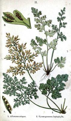 A selection of printable vintage fern images. Botanical - Leaf - Fern, British Fern   (15)
