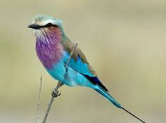 Luxury without Lodges - lilac-breasted roller
