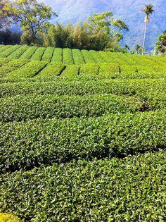 plantacje herbaty- Tajwan