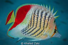 Red Back /Chevron Butterfly fish Red Sea by Khaled Zaki