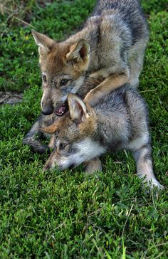 ... images about Wolf pups on Pinterest   Wolf pup, Wolves and Baby wolves