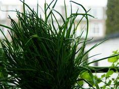 Bieslook. Bieslook kan op iedere plek in de tuin geplant worden als de grond maar vochtig gehouden wordt. Kan in zon en schaduw.