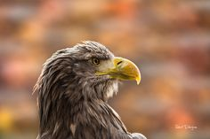 Eagle of Steller  Animals photo by tenchinage http://rarme.com/?F9gZi