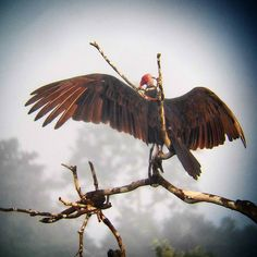 #Birding #Yoga by the Turkey #Vulture #Panama @panama_rainforest_dc