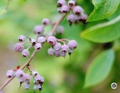 Blueberries may be the perfect small fruit for home gardeners. If you are looking to get into growing an edible landscape, consider adding blueberries! Growing Blueberries, Growing Grapes, Growing Herbs, Blackberries, Fruit Garden, Edible Garden, Garden Plants, Zinnia Garden, Blueberry Bushes