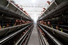 FDA/USDA Begin to Take Action that Could Eliminate Organic Pastured Poultry in Favor of Factory Birds