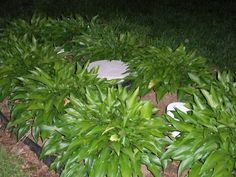 Pretty hostas cover a septic system Front Porch Landscape, House Landscape, Landscape Design, Septic Tank Covers, Propane Tank Cover, Outdoor Landscaping, Backyard Patio, Outdoor Gardens, Landscaping Ideas