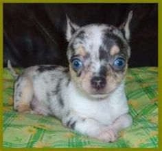 chihuahuas -  love the coat color