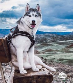 Wonderful All About The Siberian Husky Ideas. Prodigious All About The Siberian Husky Ideas. Wolf Husky, Siberian Husky Puppies, Husky Puppy, Beautiful Dogs, Animals Beautiful, Cute Animals, Cute Dog Pictures, Dog Photos, I Love Dogs