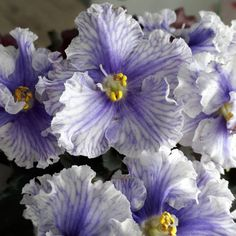LF-Ledianye Uzory / LF-Ice Patterns / ЛФ-Ледяные Узоры • L. Fedoseeva • Standard, 2018, Russia • Large, single -semi-double, pale blue flowers with wavy edges of the petals. The color changes smoothly from blue to light blue. Decorates flowers mesh pattern. A green ruby appears in the chill. Dark wavy shiny foliage. #lfledianyeuzory #AVSA #africanviolet #indoorplant #houseplant #saintpaulia #senpolia #africanvioletlovers #fialka #africanvioletsocietyofamerica #fialki  #russianviolet Leafy Plants, Indoor Plants, Easy House Plants, Saintpaulia, Houseplants, Blue Flowers, Color Change, Perennials, Planting Flowers