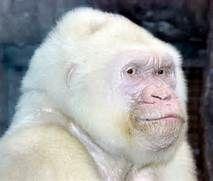 Albino gorilla - Bing Images | Animal Kingdom | Pinterest