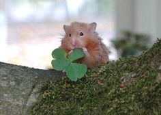 a cute hamster gets lucky with a four leafed clover Cute Rats, Cute Hamsters, Funny Animal Memes, Funny Animals, Cute Small Animals, Types Of Animals, Good Buddy, Pet Birds, St Patrick