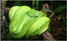 Green Python Snake Wallpaper | green python snake wallpaper 1080p, green python snake wallpaper desktop, green python snake wallpaper hd, green python snake wallpaper iphone
