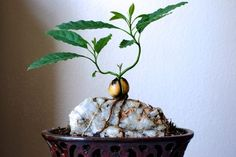 Avocado pit sprouted, trained over granite slab surrounded by soil. Once roots grew over rock, soil was taken away a little at a time.