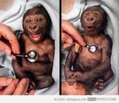 Baby gorillas :)) so cute Beautiful Creatures, Animals Beautiful, Cute Baby Animals, Funny Animals, Cãezinhos Bulldog, Animal Pictures, Cute Pictures, Random Pictures, Funny Photos