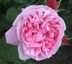 Austin English Rose,Mary Rose in bloom, my garden 2012