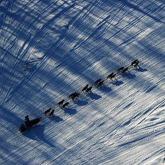 #Alaska kızak yarışları. #ABD #Juneau #Husky #Malamut #AlaskanMalamute