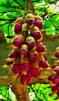 Sparrow Flower - aka Mucuna.