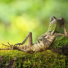 "Discovery on Instagram: ""Weekend mode.  . Photo: Roni Hendrawan (@roni_hendrawan12) . #relaxingtime #lizardsofinstagram #chillvibes #weekendmood #naturephotography…"" Nature Animals, Animals And Pets, Cute Animals, Funny Animals, Funniest Animals, Small Animals, Wild Animals Photos, Pictures Of The Week, Funny Pics"