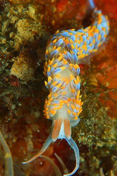 The colorful and beautiful Spurilla caerulescens is a species of sea slug. It is an aeolid nudibranch, a marine  opisthobranch gastropod mollusk.