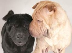 Sassie & Peaches is an adoptable Shar Pei Dog in Chicago, IL. Sassie and Peaches are a pair of very beautiful and affectionate purebred female Shar Pei looking for a loving guardian – preferably toget...