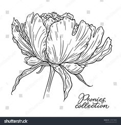 Peony Flower Hand Drawn Lines Black Stock Vector (Royalty Free) 1278779842 Peony Flower, Flowers, Doodle Sketch, Peonies, Hand Drawn, Moose Art, How To Draw Hands, Royalty Free Stock Photos, Doodles