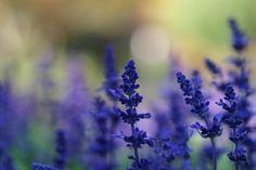 Lavender Purple Flowers HD Wallpaper