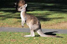 Baby kangaroo <3