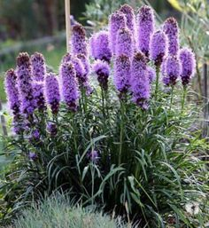 """500 PURPLE BLAZING STAR GAYFEATHER Liatris Spicata Flower Seeds by Seedville. $2.00. BLOOM TIME:  Mid Summer. LIGHT REQUIREMENTS:  Sun  . . .  SOIL / WATER:  Average. PLANT HEIGHT:  24 - 36""""  . . .  PLANT SPACING:  18 - 24"""". The Blazing Star has tall upright spikes of fuzzy purple flowers. HARDINESS ZONE:  3 - 10. * The Yellow Blazing Star seeds are also available in our store! *     ** FREE SHIPPING ON ANY ADDITIONAL SEEDS! PAY ONLY ONE FLAT SHIPPING FEE OF $2.50 FOR US..."""