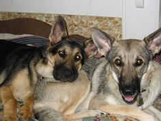 We had Shepherds growing up.  Scherna and Grau, one of her pups.  These are not them, but a sweet reminder...