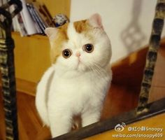 Snoopy is an exotic shorthair cat from China, and she loves to look absolutely fabulous. The Animals, Baby Animals, Fluffy Kittens, Cute Cats And Kittens, Snoopy Cat, Cutest Cats Ever, Animal Gato, Exotic Shorthair, Kitten Gif