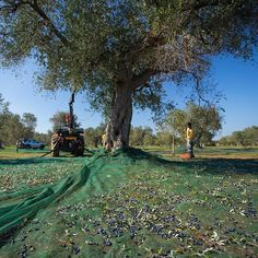 Raccolta di olive azienda Merico di Miggiano. Olioesale_ shop_ olio_ extravergine _ di _ Olive_ biologico_ alberi_ secolari_ Ogliarola_ Salentina_ Cellina_ di_ Nardò_  estratto_ a_ freddo_  Salento