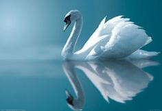 The most beautiful piece. The poem is so beautiful as well. Claude Debussy : Clair de Lune, for Piano (Suite Bergamasque No. Suite Bergamasque, Beautiful Swan, Beautiful Birds, Swans, Swan Animal, Claude Debussy, Swan Lake Ballet, White Swan, Amazing Pics