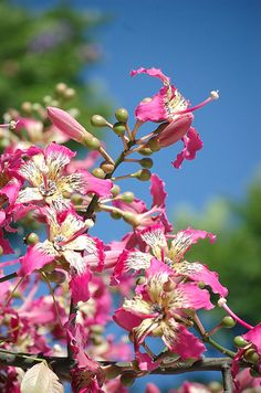 Toborochi flowers my favorite flower of south America ...beautiful pink flowers
