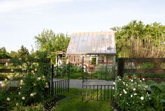 """After Brown finished the walls, 10 strapping pals showed up for """"a kind of barn-raising,"""" complete with a new, polycarbonate greenhouse roof.  In this photo: A mid-19th-century iron gate—flanked by 'Golden Celebration' (left) and 'Glamis Castle' (right) roses—frames a view of the glass house.   - CountryLiving.com"""