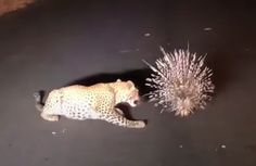 Young Leopard Won't Stop Investigating Porcupine On The Road | CutesyPooh