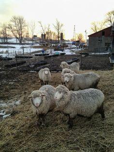 Catskill Merino Sheep Farm | Hand-Dyed Merino Yarn & Pasture Raised Lamb