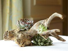 Natural Arrangements... Drift wood & succulents