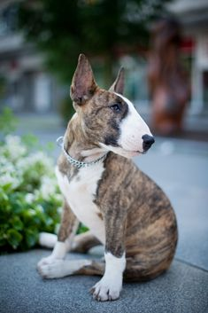 Bull Terrier - GoodHousekeeping.com