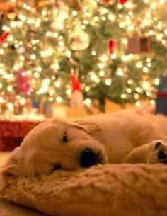 sleeping dog in front of xmas tree