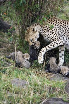 """Suzi Eszterhas Photography """"PHOTO OF THE DAY - Cheetah mother with her nine-day-old cubs, Masai Mara Reserve, Kenya. Cheetahs are unbelievably attentive mothers, and…"""" Animals And Pets, Baby Animals, Cute Animals, Wild Animals, Beautiful Cats, Animals Beautiful, Big Cats, Cats And Kittens, Big Cat Family"""