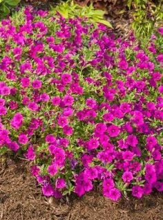 Superbells Garden Rose is a breakthrough in plant breeding--finally a calibrachoa that can stand up to adverse conditions in the landscape. This new variety is quite the colorful trooper!